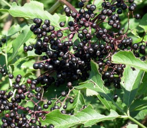 elderberries for Kombucha